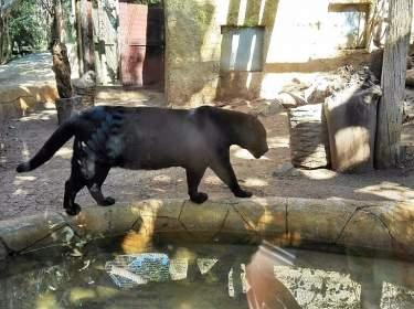 Jungle Park Arona Teneriffa Schwarzer Panther