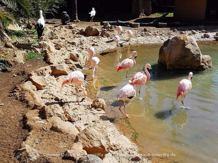 Jungle Park Arona Teneriffa Flamingos